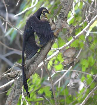 Microraptor and Sinornis (recoloured) by Gogosardina