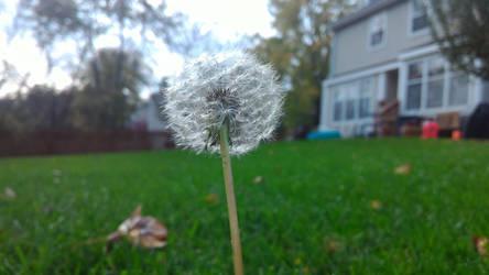 Last Dandelion by Silidons00