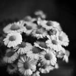 Just a daisy, just a flower by excence
