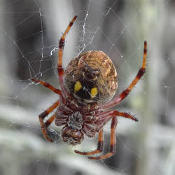Garden Orb Weaver by me-and-mojo