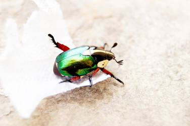 Coleoptera by Dropchocolate