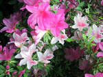 Azalea Wallpaper by AngelaSasser-photos