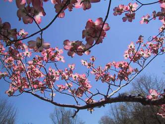 Pink Dogwood Glory by AngelaSasser-photos