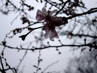 Blossom After the Storm by AngelaSasser-photos