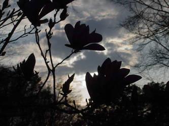 Japanese Magnolia by AngelaSasser-photos