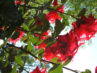 Sunlit Roses by AngelaSasser-photos