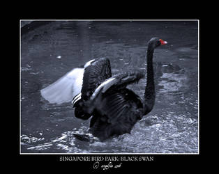 Singapore.10: Black Swan by Angelfae
