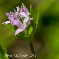 Little Tiny Purple Flower by Pleblu