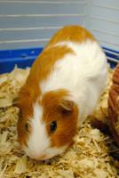 Demetri the Guinea Pig by brandimillerart