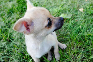 Adoptable Chihuahua Puppy 2 by brandimillerart