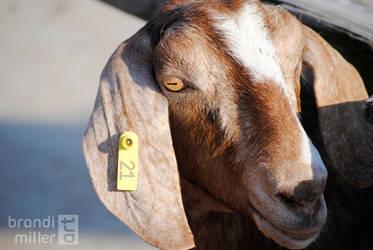 Goat Eyes by brandimillerart