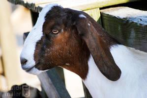 Goat by brandimillerart