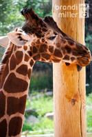 Giraffe Lick by brandimillerart