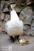 Proud Peahen with Chicks by brandimillerart
