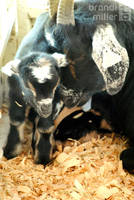 Baby Goat and Momma by brandimillerart