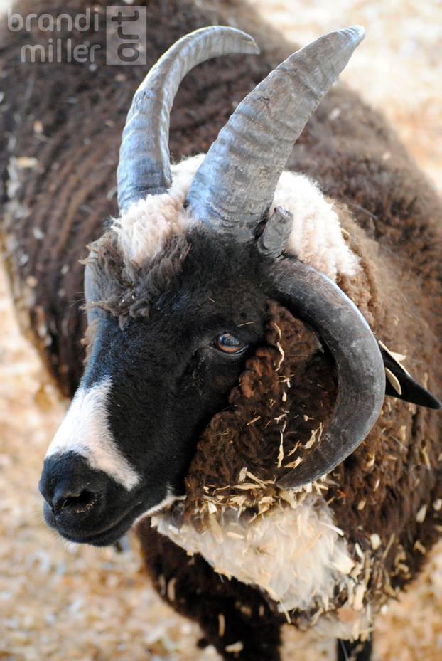 Four Horned Ram by brandimillerart