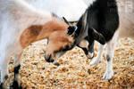 Goat Battle by brandimillerart