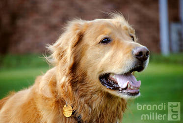 Buddy the Golden Retriever by brandimillerart