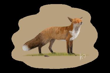 Wildlife - Fox by PortysPrideRescue