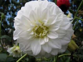 White Dahlia by Andrei-Azanfirei