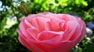 Lovely rose by Andrei-Azanfirei