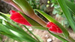 Gladiolus by Andrei-Azanfirei