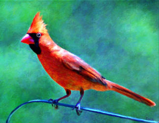 Cardinal by fmr0