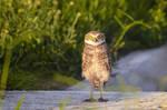 Owl by ktsimage