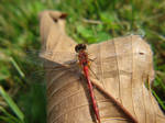 Awesome Dragonfly by nutamu
