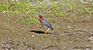 9402 Green Heron by wtsecraig