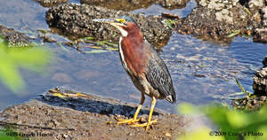 9405 Green Heron by wtsecraig