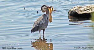 9406 Great Blue Heron by wtsecraig