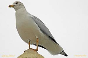 9585 Ring-billed Gull by wtsecraig