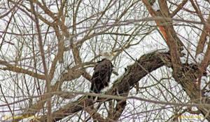 9592 American Bald Eagle by wtsecraig