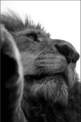Vue d'un lion by AExils