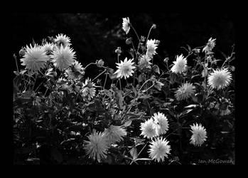 Dahlias in the sun . by 999999999a