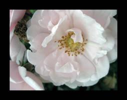 Pink Rose V by fartoolate