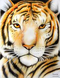 Tiger by pavari