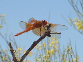 Arizonian dragonfly by dxball