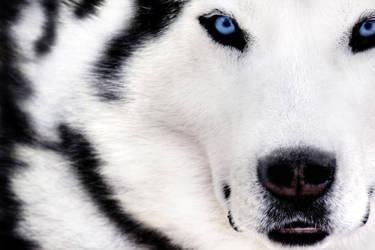 Blue Eyes Wolf by BrettuceLettuce