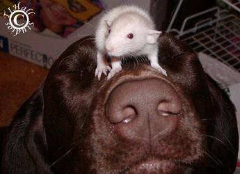 Lab Rat by Sluagh-Cu