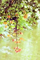 Red leaves by ladyang