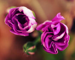 Litle sweet roses by ladyang