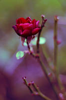 Autumn rose by ladyang