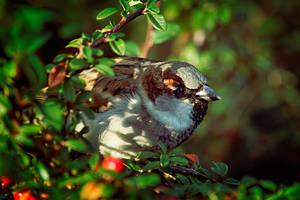 Sparrow III by ladyang