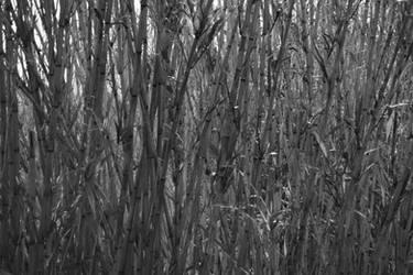 juste des roseaux en noir et blanc by daruthin