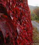 Red Leaves by lotus82