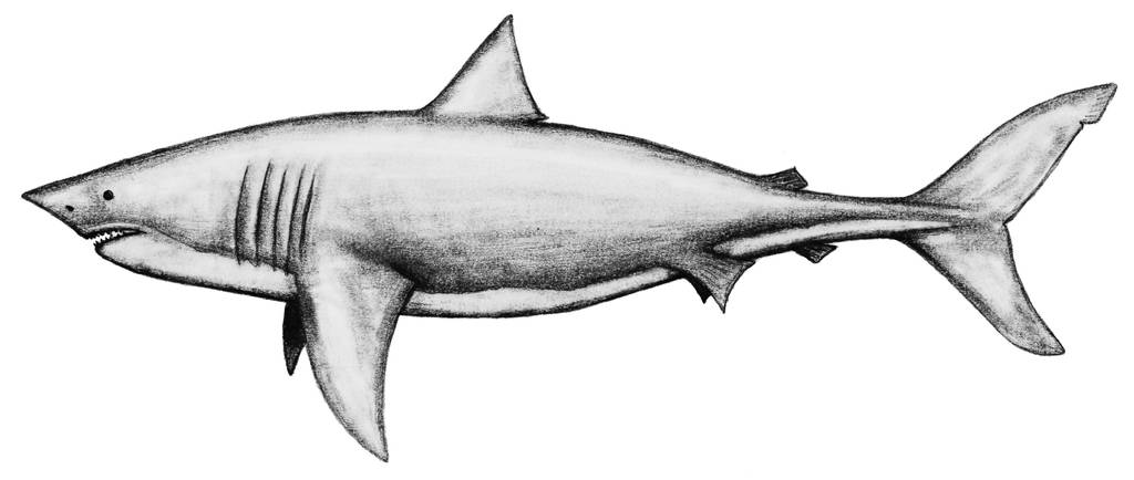 Carcharocles Megalodon-backgroundless by theropod1