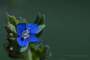blue star by hellfirediva