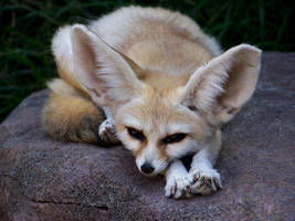 Fennec Fox by Lysendriel